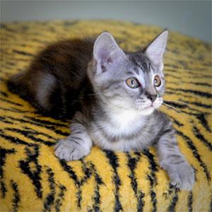 un chaton très mignon sur un plaid tigre