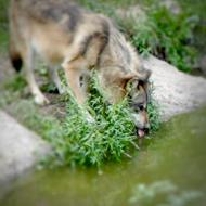 Interview azimutée de jean-Jacques Annaud : loup © Annick Holtz