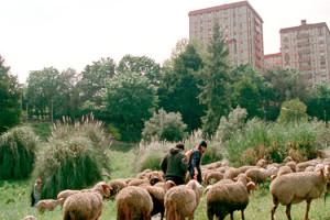 côté quinzaine moutons